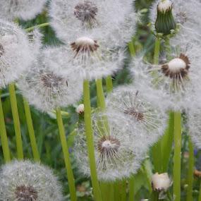 Dandelion Bunch by Patrick Jones - Flowers Flowers in the Wild ( dandelion, seed, weed )
