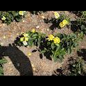 Yellow wild Sage