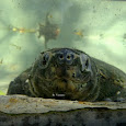 Indonesian's Local Turtle & Tortoise