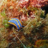 Nudibranch Hypselodoris midatlantica