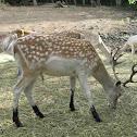 Ciervo (Fallow deer)