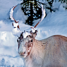 Looking for food by Elisabeth Johansson - Animals Other ( reindeer, snow, wildanimal )