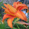Double Daylilies
