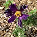 Pasqueflower flower