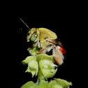 Centris bee