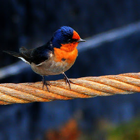 Bird on a wire by Ned Kelly - Animals Birds ( bird, robin, roost, wire, animal,  )
