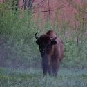 European Bison (Wisent)