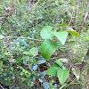 Broad-leafed Clematis