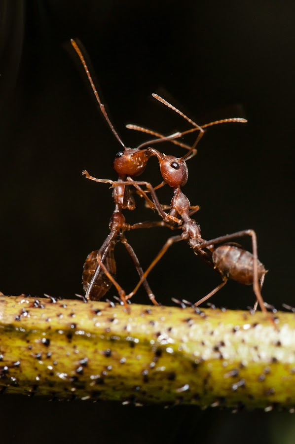 ants  fighting by Jimmy Fang - Animals Insects & Spiders ( animals, nature, wildlife, ants, insects,  )