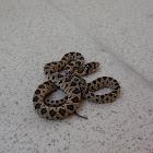 Horseshoe Whip Snake
