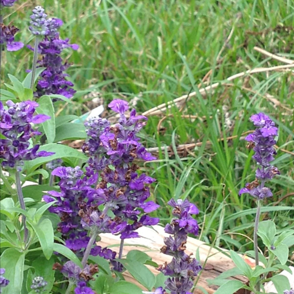Salvia evolution