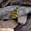 Common cucumber beetle