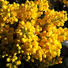 Oregon-grape (mahonija)