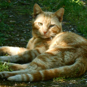 The Orange Male by Joao Sousa - Animals - Cats Kittens