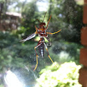 Unknown Red wasp