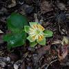 Tulip poplar flower from tree
