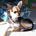 Chihuahua Live Wallpaper Lite icon