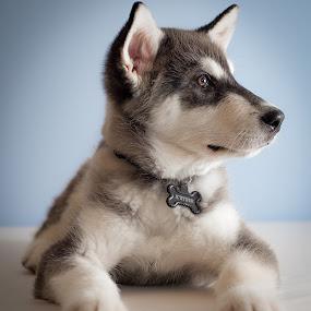 K'eyush (Bear Cub) at 12 Weeks by Stuart Partridge - Animals - Dogs Puppies ( alaskan, stuart, puppies, d600, partridge, husky, puppy, nikon, malamute, giant )
