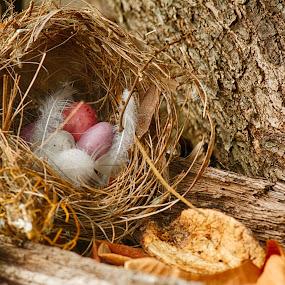 by Pat Kiellor - Artistic Objects Still Life ( bird, birdsnest, eggs, nest, speckled, feather )