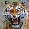 Tigers wallpaper icon