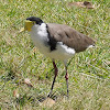 Masked Lapwing ( Eastern form)