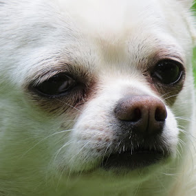 chihuahua by Shaggy Shack Pack - Uncategorized All Uncategorized ( pet, rescued, chihuahua, dog, animal )
