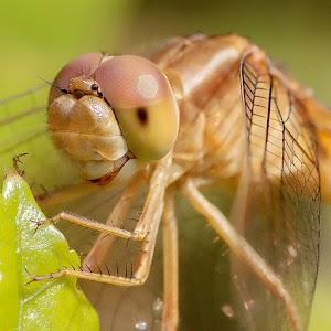 Dragonfly close up.jpg