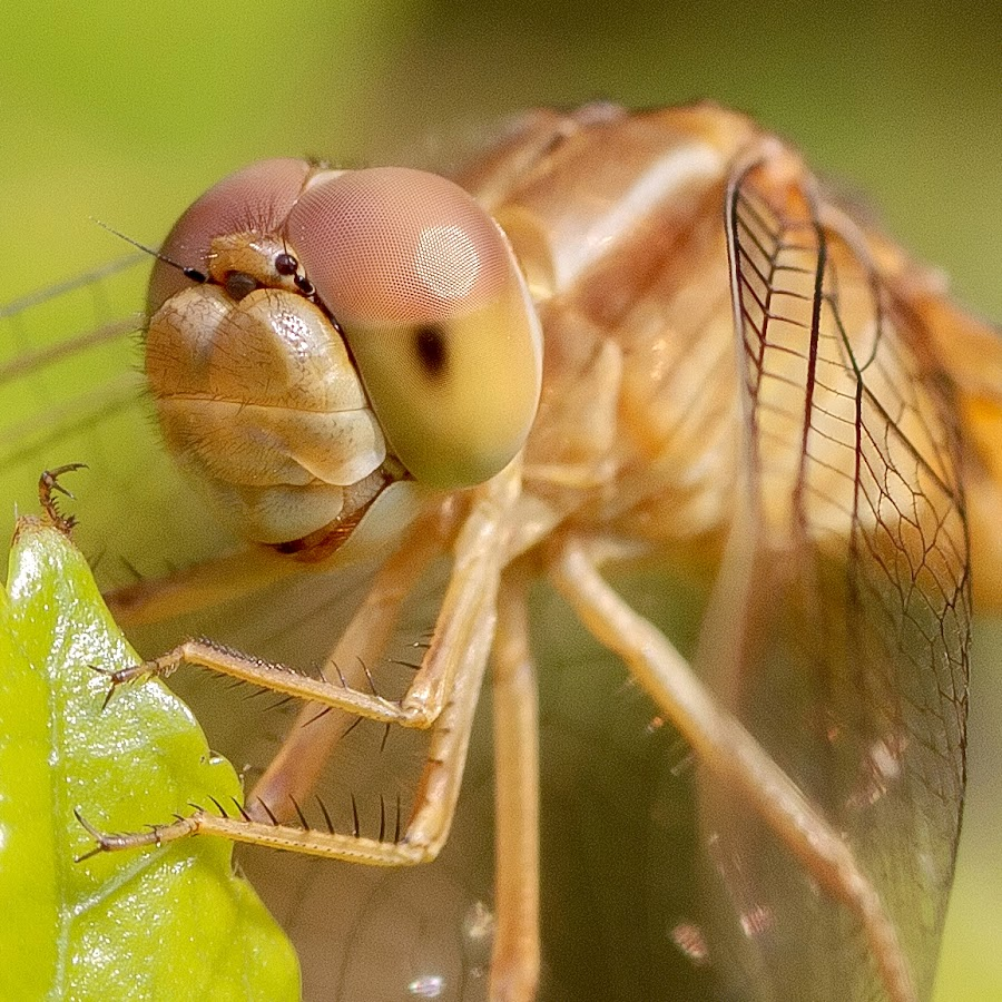 Dragonfly close up by Kalyan Sen - Animals Insects & Spiders
