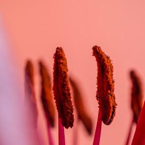 Pistil flower by Milica Đorđević - Flowers Flower Buds