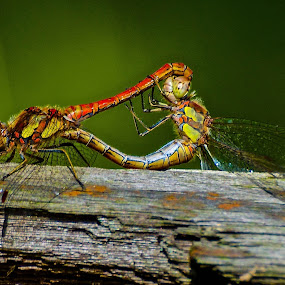 Dragonfly Duo by Don Cardy - Animals Insects & Spiders (  )