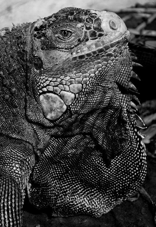 Jowls Iguana by Idda Purwaningtiyas - Black & White Animals ( black and white, animal )