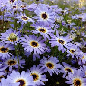 Blue beauty by Vaibhav Nahar - Flowers Flower Gardens