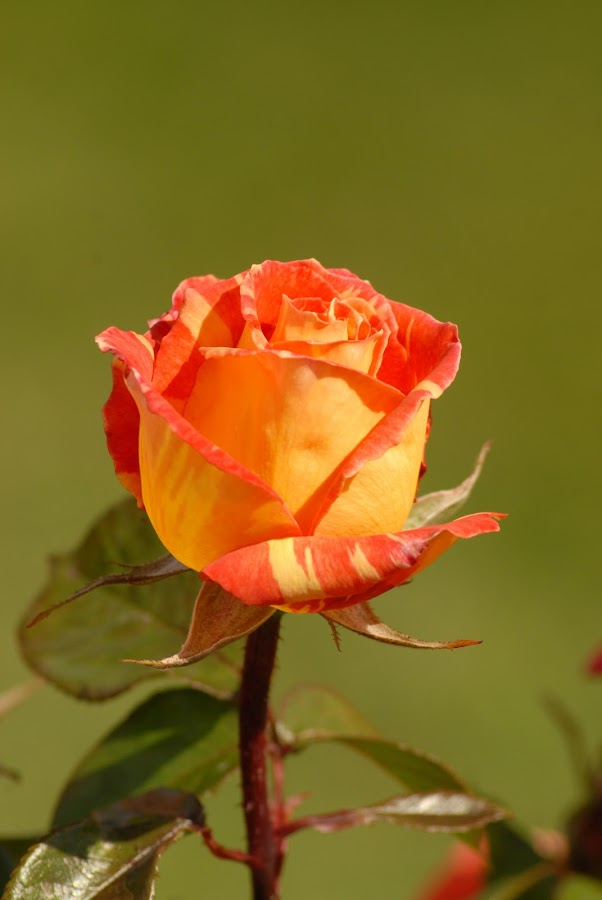 The Rose by Greg Norris - Flowers Single Flower ( orange, rose,  )