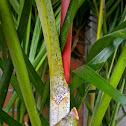 Sealing Wax Palm