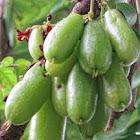 cucumber tree or tree sorrel