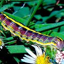 Asteroid Caterpillar (purple)
