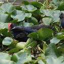 Pukeko and chicks