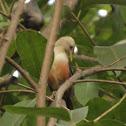 Malabar White-headed Starling