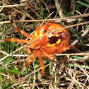 Orange Marbeled Orbweaver