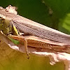 Sagebrush grasshopper