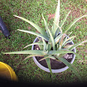 Aloe, medicine plant, burn plant, and Barbados aloe