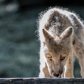 little brother is watching you by Horst Winkler - Animals Other ( wölfe, little wolve, wien, schönbrunn, watch, wolve, viena, wolves, young, eyes, österreich, vienna, zoo, watching, wolf, tiergarten, austria,  )