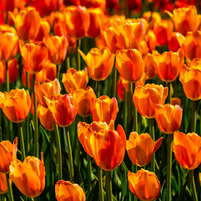 Orange Tulips by Tina Hailey - Flowers Flower Gardens ( spring colorful flowers, outdoors, sun coming through wildflowers, tinas capture moments, springtime, spring,  )