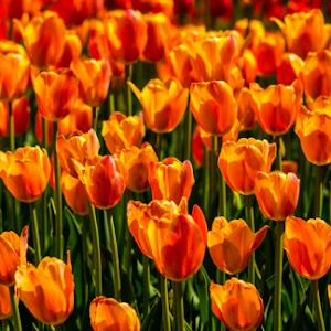 orange tulips 1.jpg
