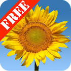 Sunflowers Free Live Wallaper icon