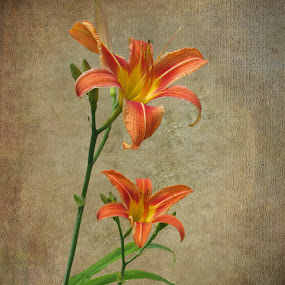 Orange is my name by Sharon Pierson - Flowers Flower Gardens ( orange, lily, textured, background,  )