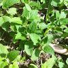 Cooleye's hedge nettle