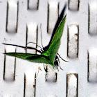 White-Fringed Emerald