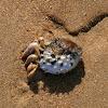 Finger Plough Shell or Plough Snail
