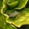Antestia bug
